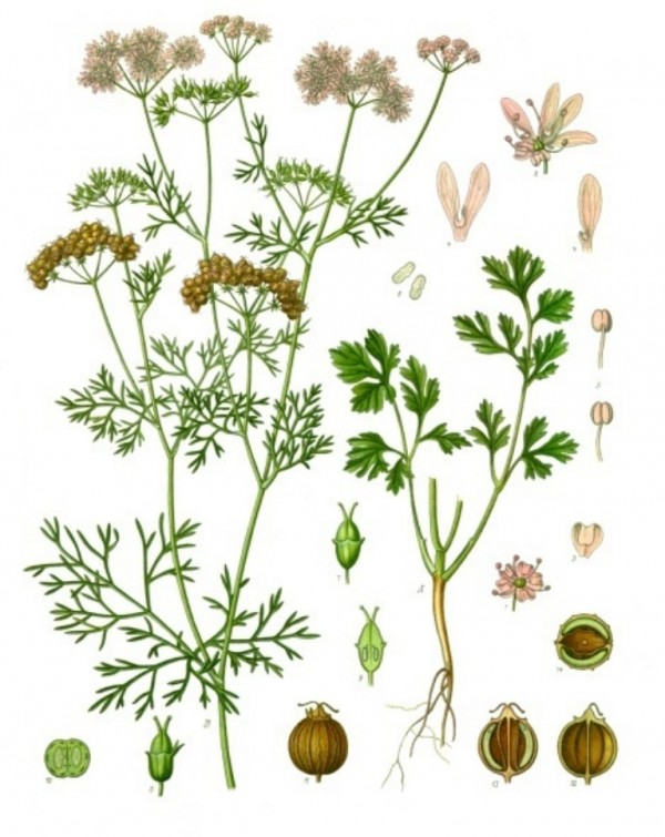 Les plantes aromatiques jardinerie des jonquiers for Jardinerie plantes